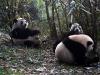 junge Pandas beim Fressen