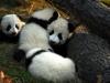 Babypandas