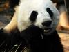 Panda beim Fressen