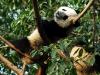 Panda beim Schlafen im Baum