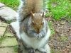 Eichhörnchen - wohlgenährt
