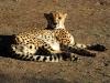 Gepard vor der Fütterung