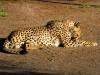 Gepard, gefüttert